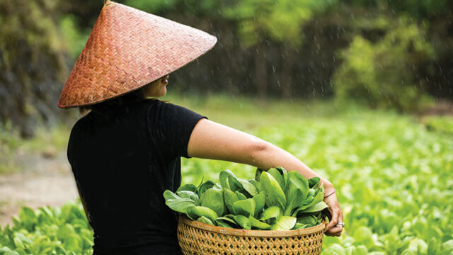 woman carrying vegetables picked from the field