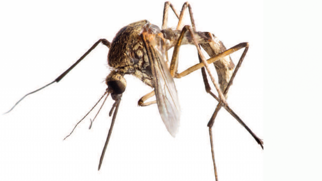 huge mosquito close-up
